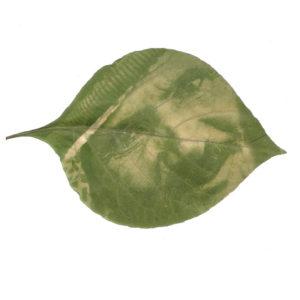 fitotipo ou clorophyll print- trabalho de danisandrini